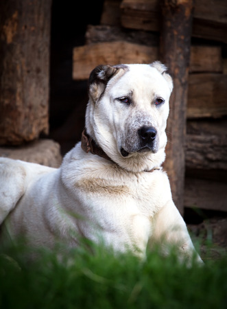 big white guarding alabai dog  photo