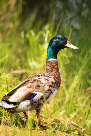 wild duck in green spring nature near lake   photo