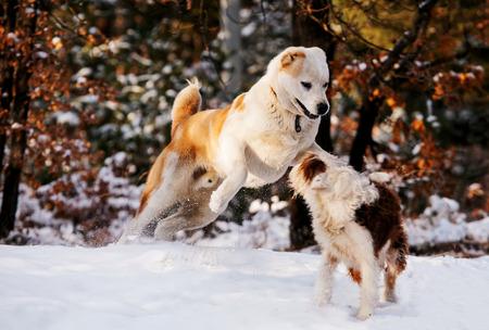 perros jugando: Dos perros jugando en el bosque de invierno Foto de archivo