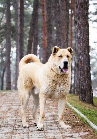 alabai: super big 105 kg. young alabai dog posing in the park
