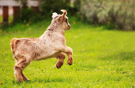 hircus: cute baby goat play in green spring grass Stock Photo