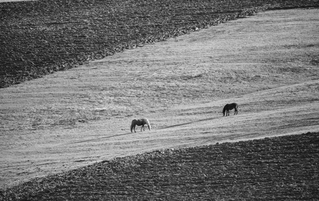 contrasted: high contrasted black and white meadow landscape with horses