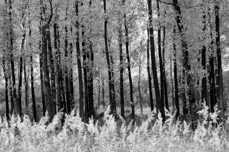 black and white forest background with many straight trees in foreground