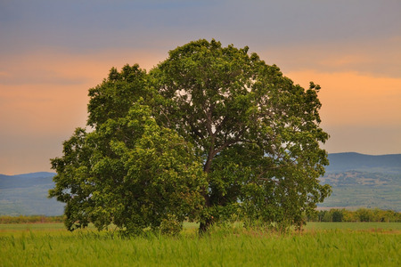 tree in field: big oak tree in summer green meadows, sunset time with red sky in background Stock Photo