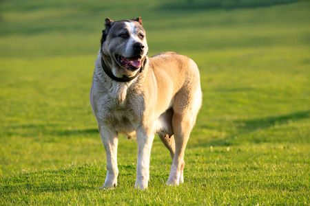 stay in green: big alabai dog stay in green spring meadows Stock Photo