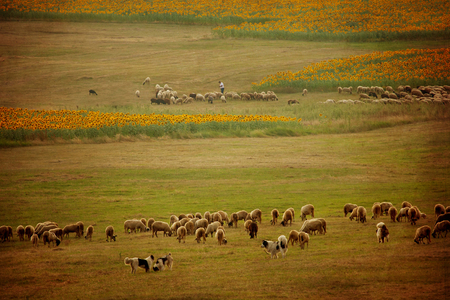shepard: old vintage pastoral landscape with herd of sheep and his shepard near bulgarian farmlands with fields of sunflowers