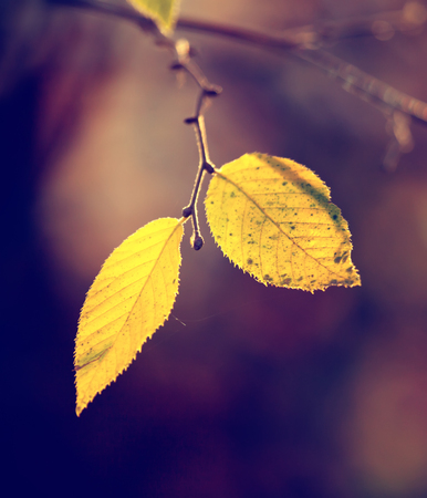 washed out: Yellow, golden leaf  on a sunny afternoon in early autumn. Image filtered in faded, washed out, retro style; nostalgic autumn vintage concept