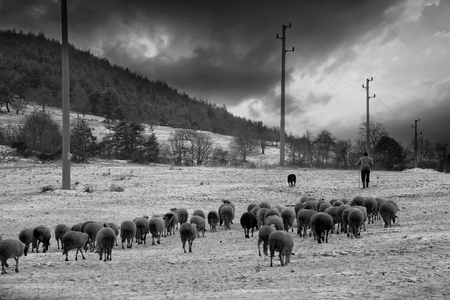 flock of sheep: flock sheep in the snow, black and white farmland landscape Stock Photo