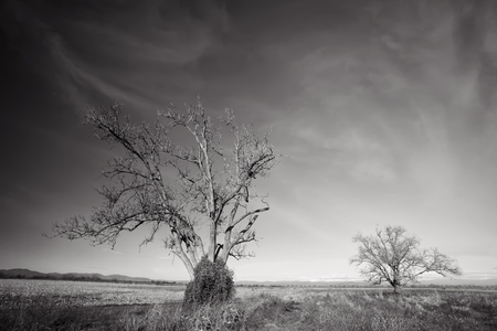 contrasted: black and white high contrasted landscape with desert trees