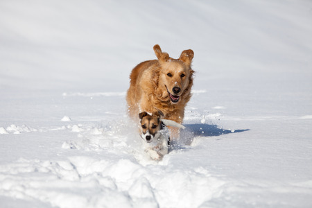 paw russell: two dogs, one Jack Russell and one golden retriever play and run in the snow near forest Stock Photo