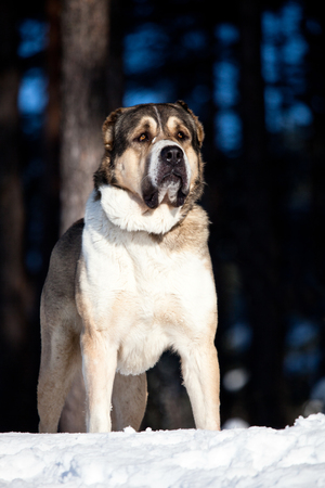alabai: big alabai dog vertical portrait in winter forest