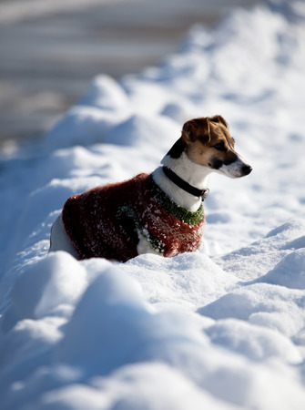 Jack Russell Terrier ready for a play in the snow Stock Photo