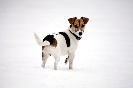 Jack Russell Terrier ready for a game in the snow