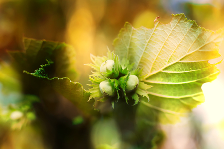 hazelnut macro shot in fall forest, autumn colorful nature background
