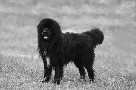 newfoundland dog: big black newfoundland dog posing in the field, black and white dog background