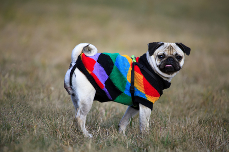 mops dog with warm yarn clothes in autumn meadows Stock Photo