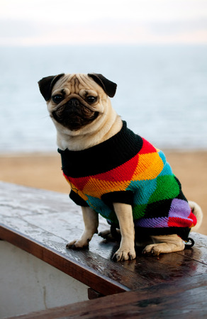 mopps dog dressed in swear in cold weather  Stock Photo