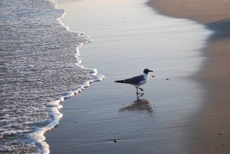 seagull walking away from a wave photo