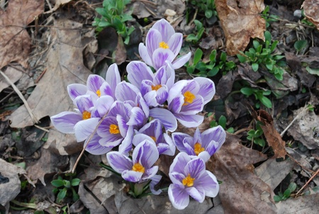 grouping: grouping of variegated crocuses