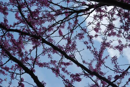 redbud tree: redbud tree blossoms Stock Photo