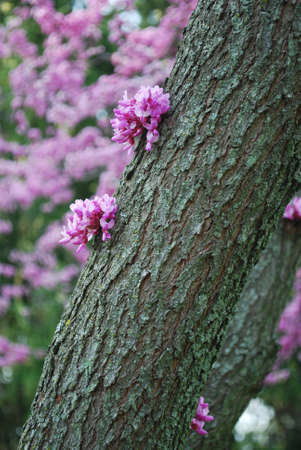 redbud tree: redbud tree trunk blossoms