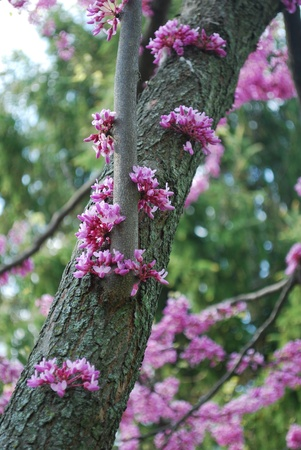 redbud: redbud tree branch with blossoms Stock Photo