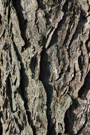 coffeetree: bark texture Stock Photo