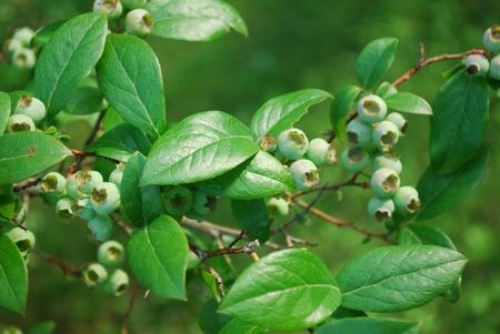 unripe: unripe blueberries