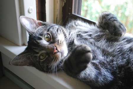 gray cat: Tabby Cat lying in open window