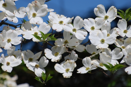 white dogwood bough  photo