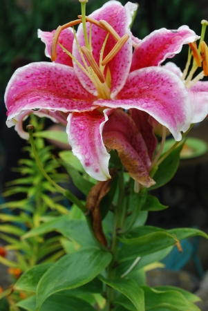 lily blossom after rain