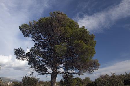 aleppo pine tree Stock Photo