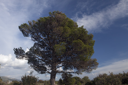 aleppo pine tree Stock Photo
