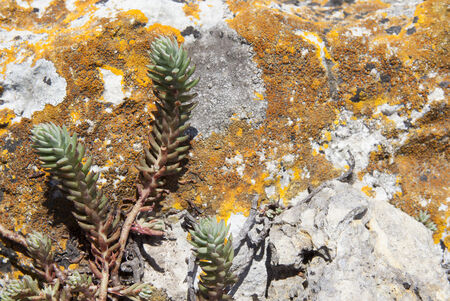 small succulent on lichen and rock background