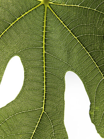 detailed view of fig leaf green surface Stock Photo