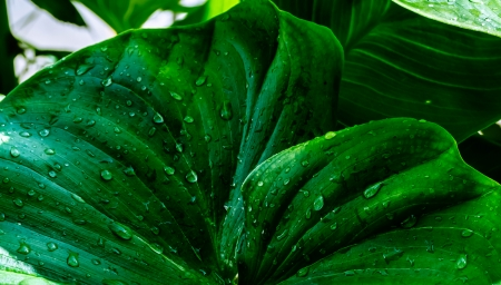 heart shaped leaves: Leaves of a tropical plant after teh rain