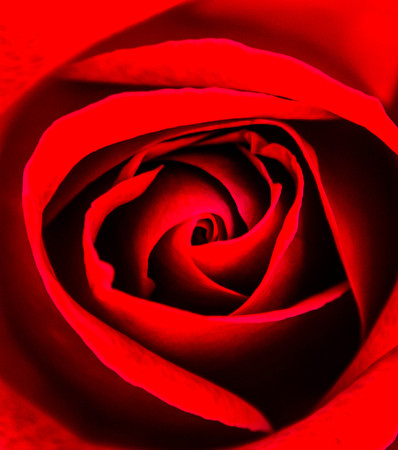 Red rose Stock Photo - 23051284