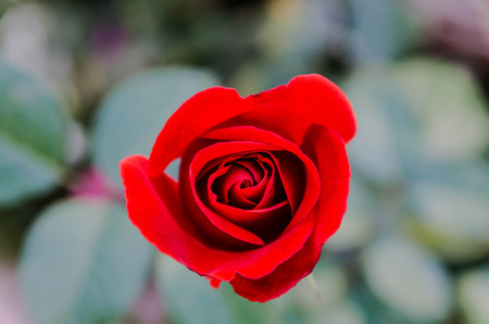 Little red rose  Stock Photo - 23051313