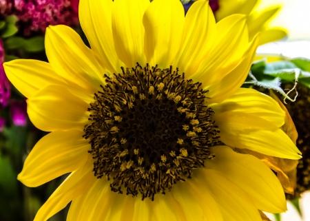 Sonnenblume  Lizenzfreie Bilder