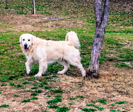Labrador dog in the park standing next to a tree