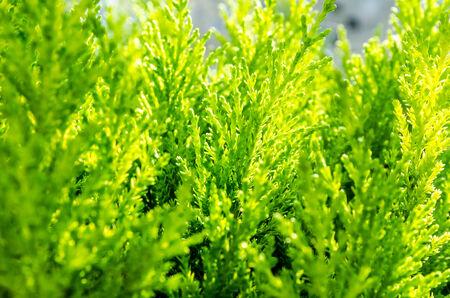 Cedar close-up