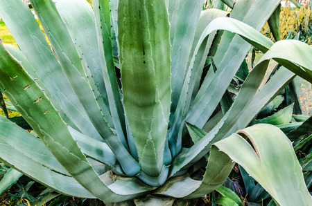 Aloe vera plant  Stock Photo