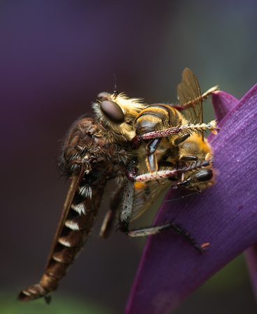asilidae: Macro of Robber Fly Preying on Honey Bee, perched on purple Spiderwort plant