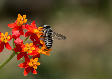 Macro of Leaf cutter Bee pollinating Red and Yellow Milkweed.  Blurred background, Landscape