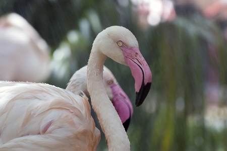 Composite of White African Flamingos enjoying water shower, colorful background, close up shot.