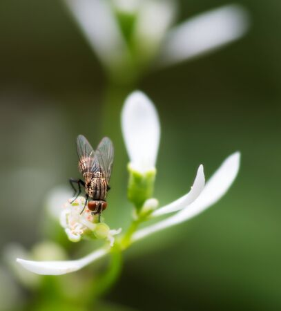 Common House Fly pollinates delicate white flower, MACRO