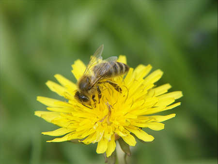 bee on a yellow meadow flower closeup Stock Photo - 413121