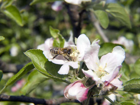 polen: Bee on apple flower collecting polen closeup