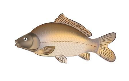 Karper vissen (Cyprinus carpio) gedetailleerde vector illustratie