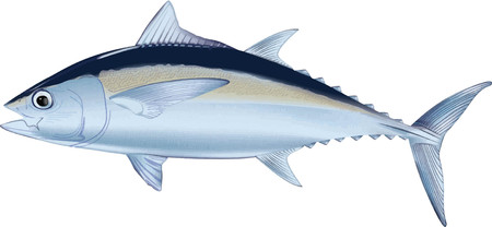 illustration of tuna fish vector version, detailed an in color Çizim